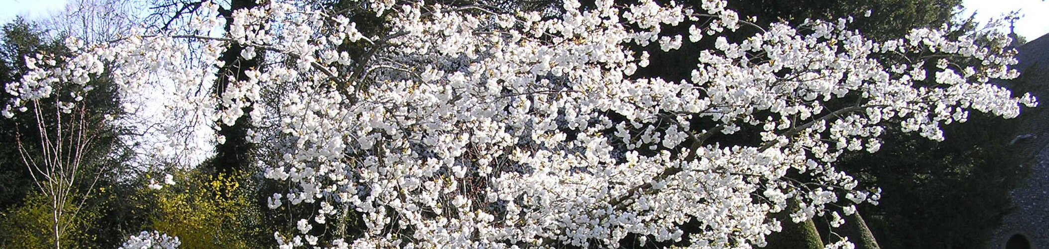 Prunus shirotea